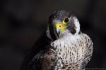 Turkey - Männlich Falke (2 Jahre)
