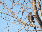 Hawk - Männlich Falke (8 Jahre)